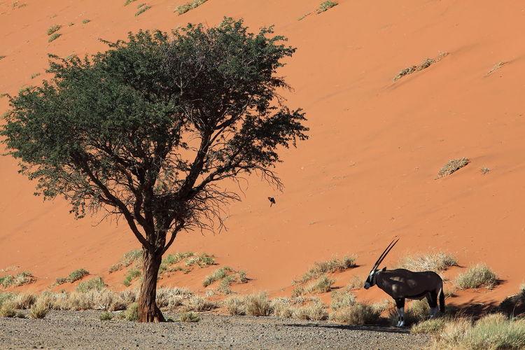 Oryx near tree against sand dune in namib desert