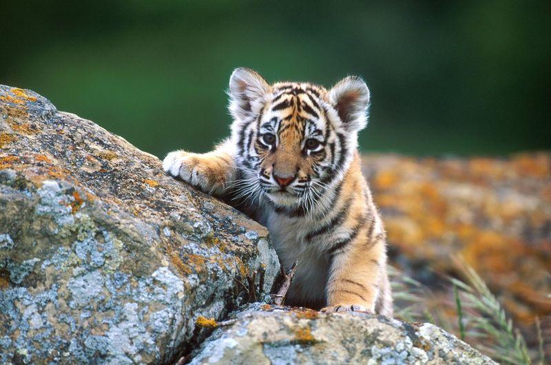 Close-up of tiger cub on rock