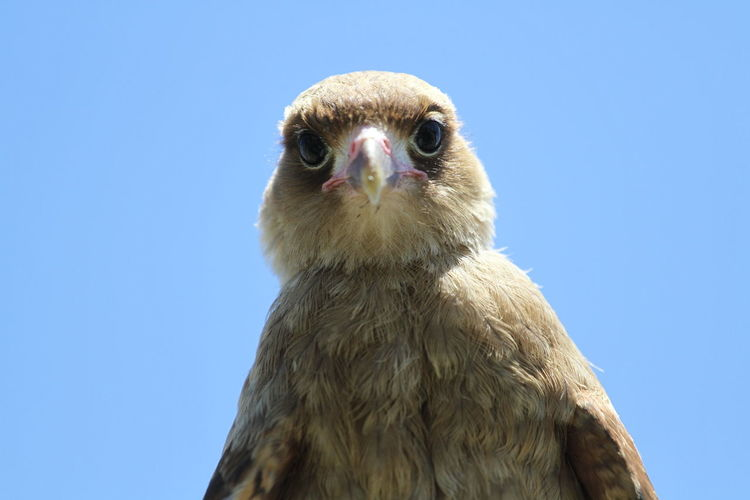 Close-up portrait of owl against clear blue sky