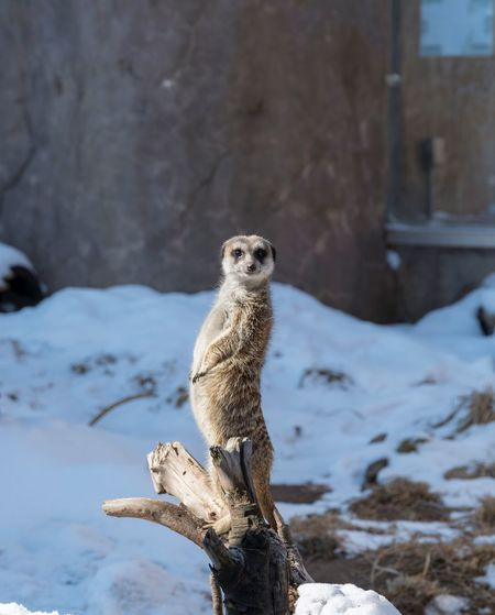 You talking to me? FUNNY ANIMALS Funny Animal Photos Meerkats Standing Meerkat No People Mammal Nature Close-up
