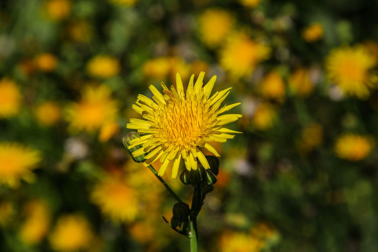 Yellow flowers Beauty In Nature Blooming Blossom Canon60d Canonphotography EyeEm Gallery Flower Flower Head Focus On Foreground Nature Petal Plant Selective Focus Sow Thistle Wildflowers Yellow