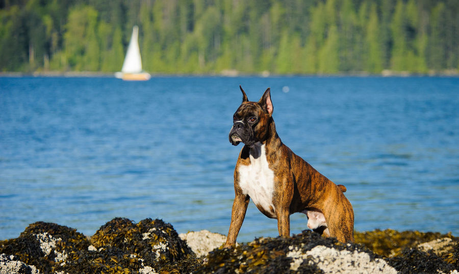 Brindle Boxer dog Boxer Boxer Dog Animal Themes Brindle Brindle Dog Cropped Ears Day Dog Domestic Animals Male Mammal Nature No People One Animal Outdoors Pets Sailboat Sea Water