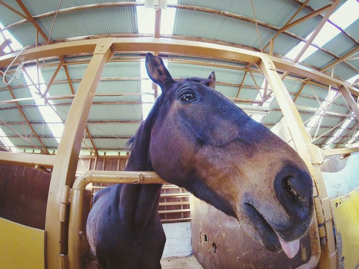 Having fun @Makaino Farm, Japan . Animal Head  Animal Mammal One Animal Animal Themes No People Portrait Close-up Gopro EyeEm Gallery Daily Project Horse Horse Photography  Farm Tongue Tongue Out The Portraitist - 2017 EyeEm Awards Done That.