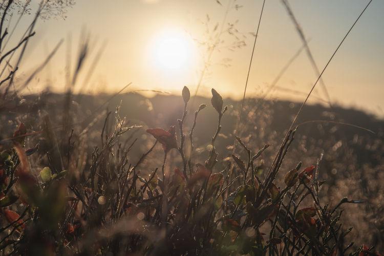 Lüneburger Heide zur goldenen Stunde Morning Light Beauty In Nature Blade Of Grass Close-up Environment Field Focus On Foreground Fragility Growth Land Landscape Lens Flare Lueneburgerheide Nature No People Outdoors Plant Scenics - Nature Selective Focus Sky Sun Sunlight Sunrise Tranquil Scene Tranquility