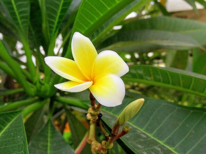 Frangipani in Thailand 6444013
