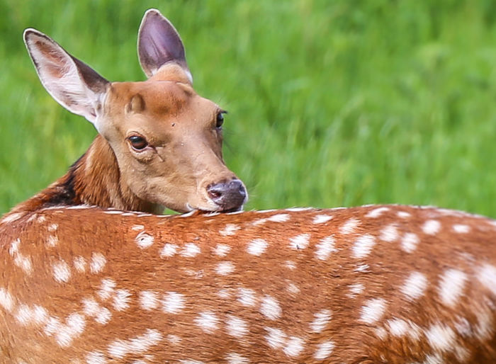 Wilderness Animal Themes Animal Wildlife Animals In The Wild Day Deer Grass Mammal Nature No People Outdoors Roe Deer