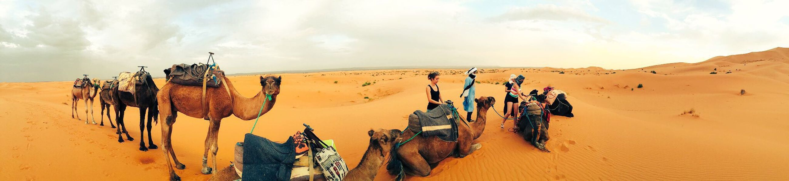 Morocco Saharadesert Sand Sahara Sand Sahara Sahara Desert Merzougadeserts Merzouga Panorama Nature Camel Camels Camel Riding Desert