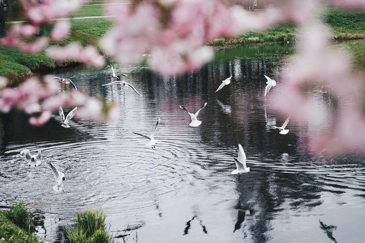 Sakura Blossom Cherry Blossoms Sakura Blossom Flower Pinkflower Riga Latvia Bird Water Tree Lake Flying Reflection Animal Themes Sky
