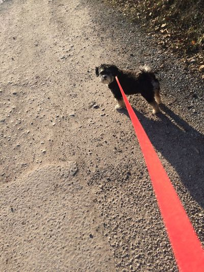 Animal Themes Asphalt Color Red Colour Red Day Dog High Angle View Leash Little Dog Low Section One Animal Outdoors Part Of Pets Shadow Sunlight Waiting