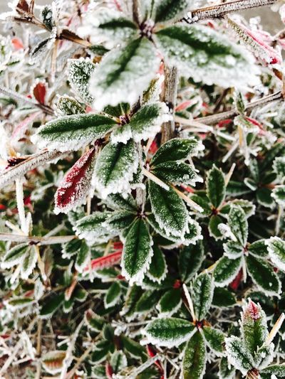 Frost Frozen Plant Cold Temperature Leaf Close-up Growth Nature Winter Frozen