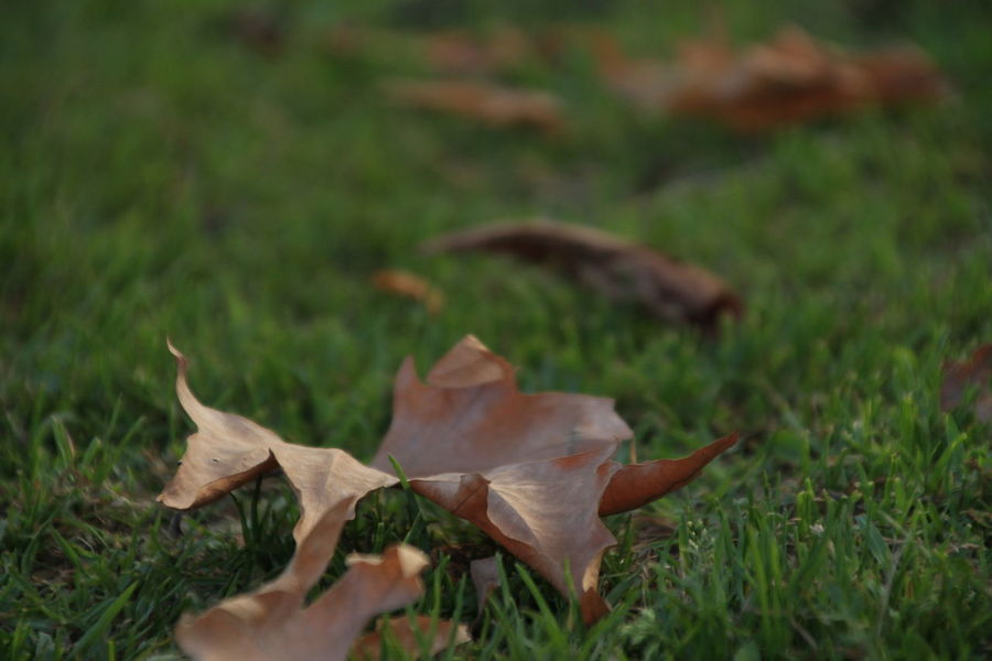 Season of Fallen Leaves Plant Part Leaf Plant Autumn Nature Close-up Field Grass Dry Selective Focus Change Land Vulnerability  Day Fragility Maple Leaf No People Green Color Beauty In Nature Falling Outdoors Leaves Natural Condition Autumn Leaves Have Fallen, Winter Is Approaching... Autumn Mood
