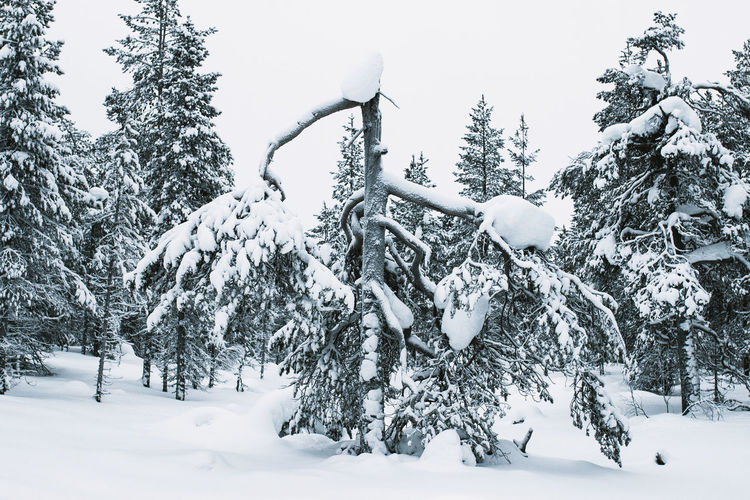 Pine trees on snow covered field during winter