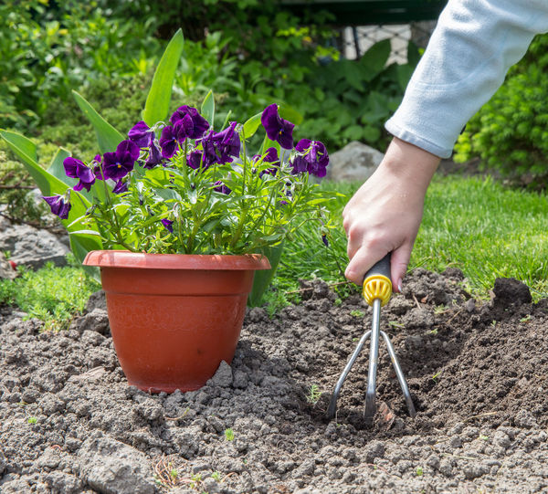 Cropped image of hand holding purple potted plant in yard