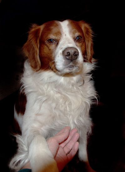 One Animal Pets Domestic Dog Domestic Animals Canine Mammal Black Background Indoors  Vertebrate Looking At Camera Portrait Close-up Studio Shot People Human Hand Cute Paw Black Brown White Pet Animal Brittany Spaniel