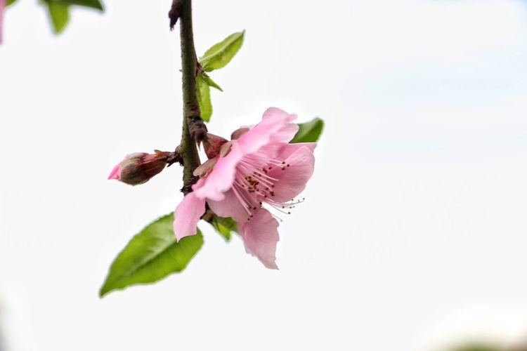 Peach Blossom Aquarelle