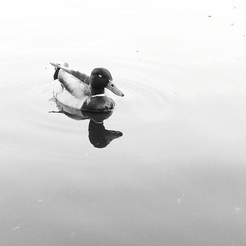 minimal 🦆 Minimalism Minimal Duck Water Bnwhungary Bnw Bnw_photografare Bnw_worldwide Blackandwhite Blackandwhitephotography Bnw_photography Bnw_photo Bnw_photos Bnwcapture Huaweiphotography Water Swimming Duck