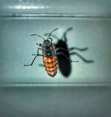 Shadow Insect Indoors  Glass Orange Color
