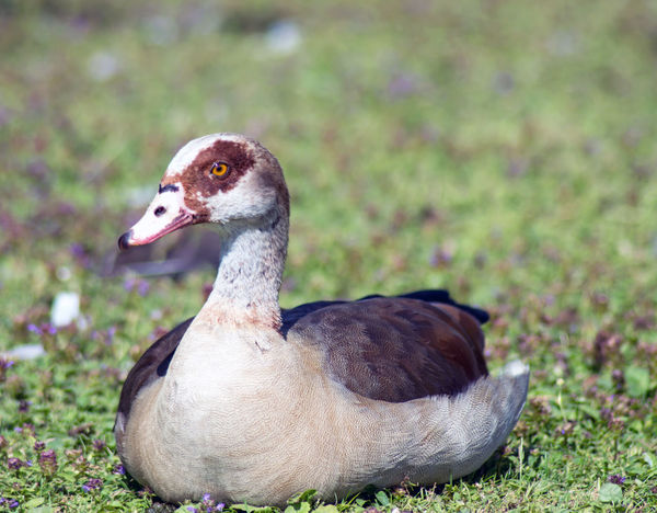 Animal Animal Head  Animal Love Animal Photography Animal Themes Animal_collection Animals In The Wild Apufoto Beak Beauty In Nature Close-up Day Egyptian Goose Field Focus On Foreground Grass Grassy Green Color Nature Nature Photography Naturelovers No People Outdoors Selective Focus Wildlife