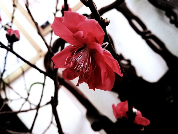 cherry blossom Spring Petal Plum Blossom In Bloom Plant Life