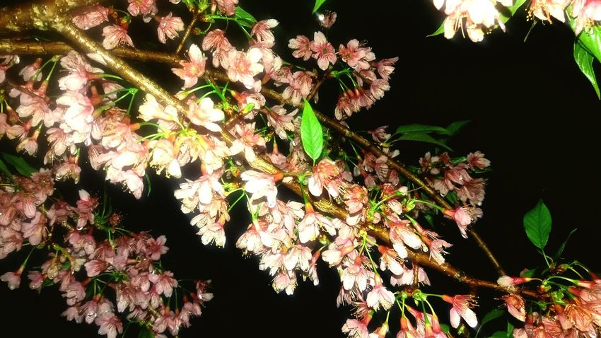 Nature No People Outdoors Beauty In Nature Flower Night Takealookatthis Nature Cherry Blossom Botany Cherry Tree Flower Cherry Blossom Viewing Pink Focus On Foreground Beauty In Nature Tree Plant Growth Branch UnderSea