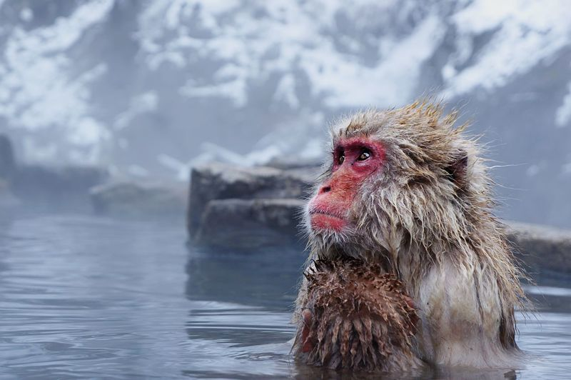 Monkey In Lake Looking Away