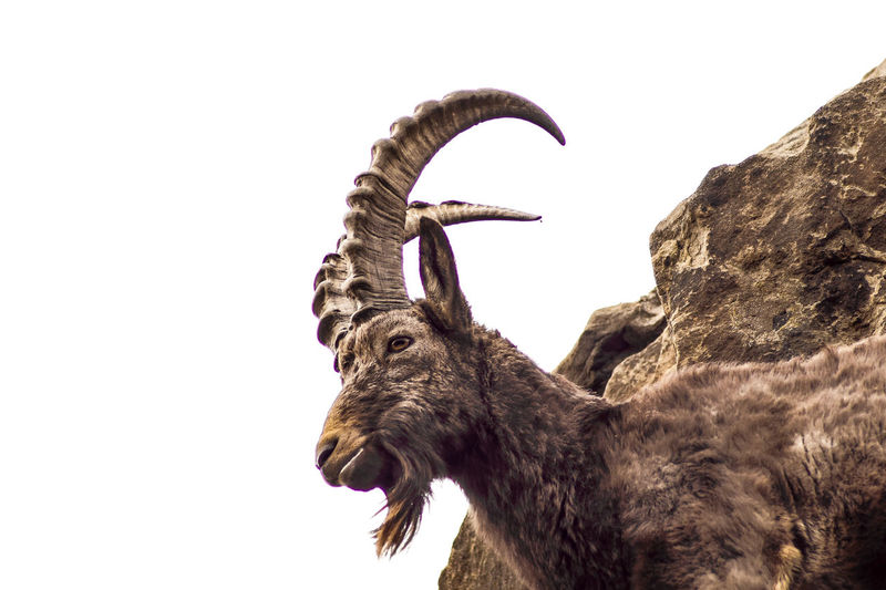 ram Animal Themes Animal One Animal Vertebrate Animal Wildlife Mammal Animals In The Wild Sky Clear Sky Animal Body Part Domestic Animals Nature Low Angle View No People Copy Space Horned Animal Head  Day Side View Herbivorous Animal Neck Goat Ramen