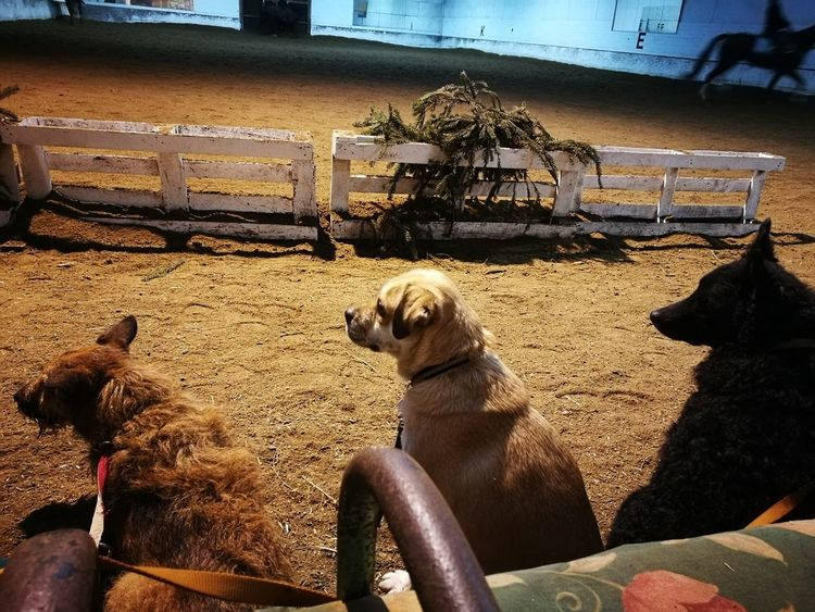 My dogs were watching the horses when another dog came in Animal Themes Sitting Pets Day Riding Horses Dog Life Indoors  Horse Tranquility Chiens Mondains Dogs Of EyeEm Dogs Hund Dog Portrait Pugglelife BLACK DOGS! ❤ Pony❤️ Horses Horse Life