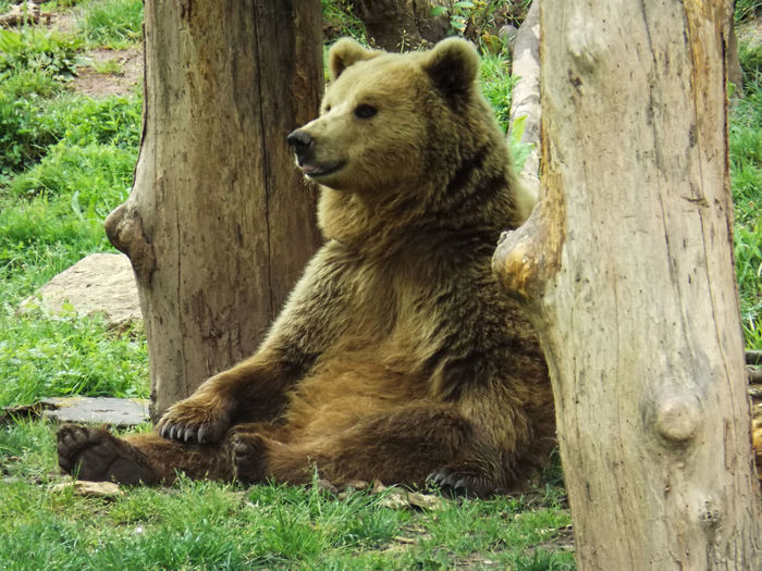 A bear in the Tierpark Tripsdrill Bear Bears Sitting Tongue Out Zoo Acting Like A Human Animal Themes Animal Wildlife Animals Bears🐻 Close-up Cute Day Grass Mammal Nature No People One Animal Outdoors Sitting Tree Tree Trunk Tripsdrill Zoo Animals  Zoology