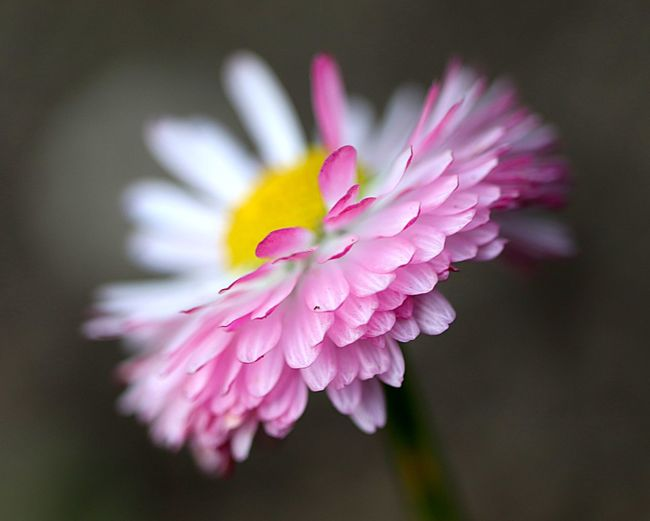 Flowering Plant Flower Plant Freshness Beauty In Nature Pink Color Close-up No People Outdoors Magenta Focus On Foreground Selective Focus Nature Flower Head Petal Fragility Growth