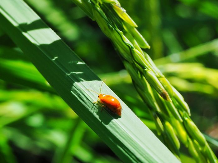 Close up of red beetle on the rice leaf Rice Paddy Field Green Animal Nature Insect Close-up Green Color Plant Ladybug Closing Bug Leaves Beetle Farmland Growing