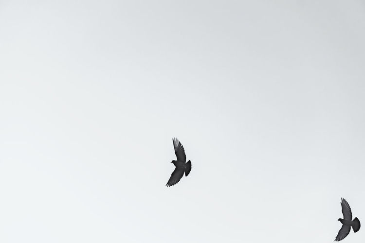 Close-Up of Two Pigeons Midair Berlin Germany 🇩🇪 Deutschland Horizontal No People Outdoors Animal Themes Animal Bird Flying Mid-air Vertebrate Animals In The Wild Animal Wildlife Spread Wings Sky Clear Sky Copy Space Flight Nature Low Angle View Day Black And White Image