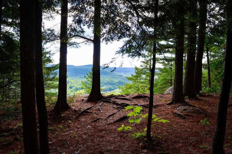Tree Mountain Forest Rural Scene Pine Tree Pinaceae Tree Trunk WoodLand Fog Autumn Wilderness Area
