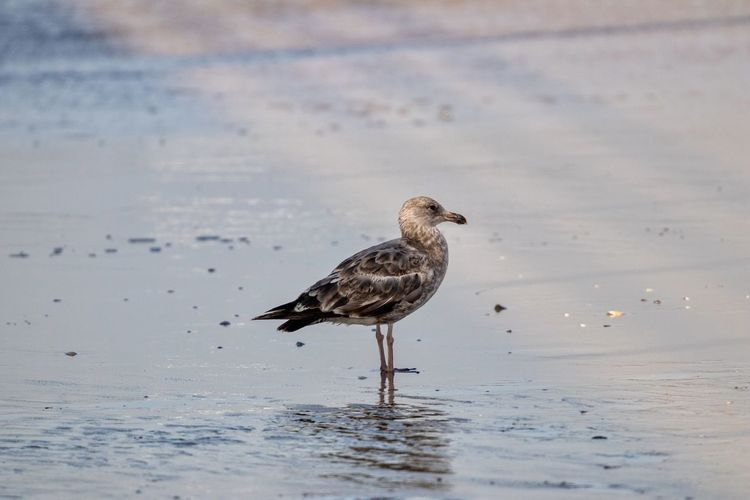 seagull standing on a sandy beach Animal Wildlife Animals In The Wild One Animal Bird Vertebrate Animal Themes Animal Water Beach Nature Day Sea Land No People Sand Perching Waterfront Selective Focus Outdoors Seagull