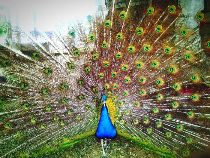Verybeautiful Peacock Beautiful ♥ Summer ☀ People Of EyeEm  EyeEm Animal Lover