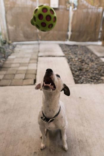 Portrait of dog with ball on floor