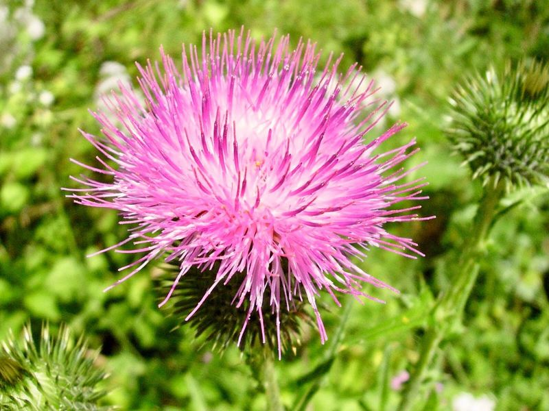 Flower Purple Nature Growth Beauty In Nature Thistle Field