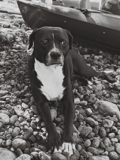 Portrait of dog on pebbles