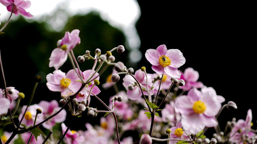 anemones pink garden EyeEm Best Shots EyeEm Nature Lover Anemone Anemone Flower Beauty In Nature Bee Blooming Blossom Close-up Windröschen Flower Flower Head Focus On Foreground Fragility Freshness Garden Growth Nature No People Outdoors Petal Pink Color Plant Rosa Yellow