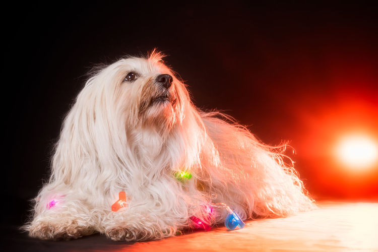 Animal Animal Hair Animal Themes Black Background Canine Cute Dog Domestic Domestic Animals Front View Hair Indoors  Lap Dog Looking Away Mammal One Animal Pets Portrait Purebred Dog Small Studio Shot