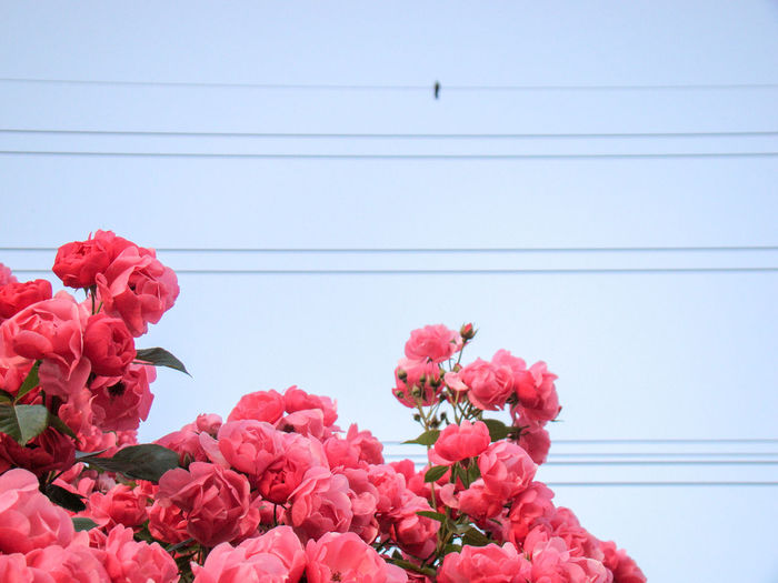 Rose, electric wire and a bird. Rosé Pink Sky Wire Electricwires Bird EyeEm Selects Flower Head Flower Red Pink Color Bouquet Close-up Plant Blooming