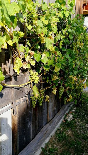 Plant EyeEm Nature Lover Winegrapes Fruit