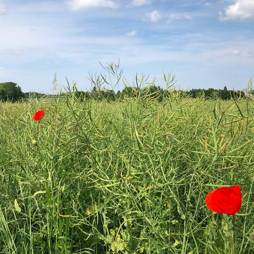 Plant Flower Growth Sky Flowering Plant Beauty In Nature Nature Green Color Red Land Freshness Cloud - Sky Field Day Grass No People Poppy Vulnerability  Fragility Tranquility