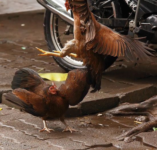Chicken fighting by motorcycle on street