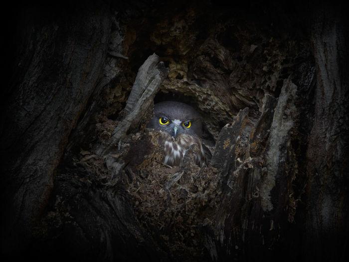 Owl in tree nest