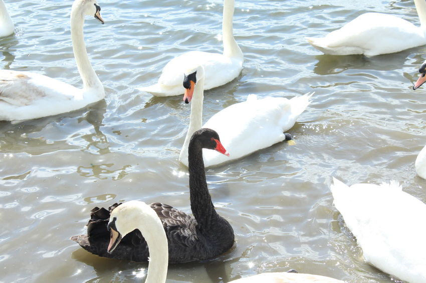 Hanging Out Taking Photos Check This Out Enjoying Life Majestic Majestic Nature Modeling Water White Swan Estuary BlackSwan Negro Black Blanco White Red Beak Red Eyes