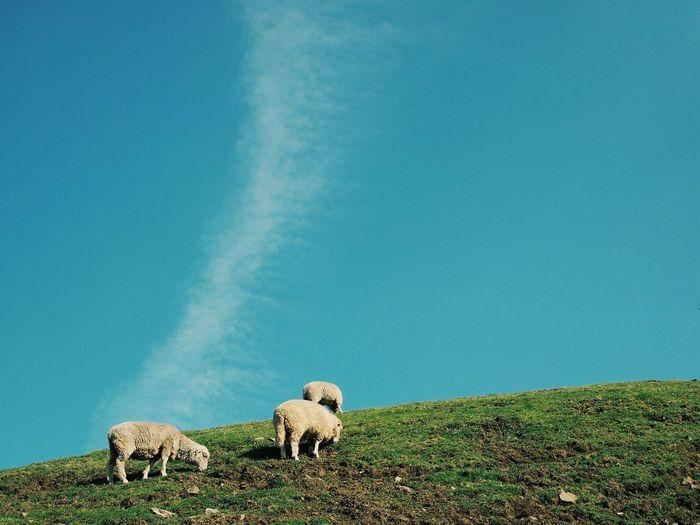 Three sheep grazing on a grassy hill