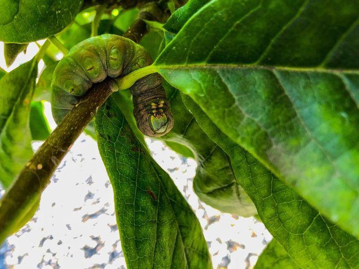 Large, green