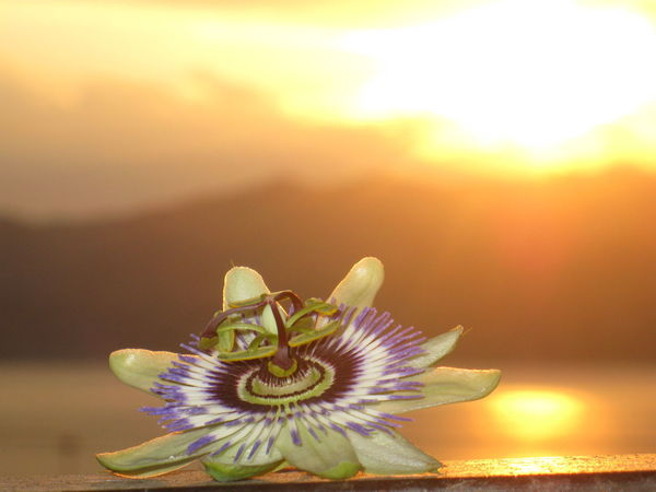 Animal Themes Beauty In Nature Close-up Day Flower Flower Head Focus On Foreground Fragility Freshness Growth Nature No People Outdoors Passion Flower Petal Sky Sunset Water