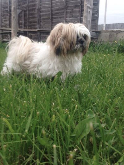 Shih Tzu One Animal Mammal Animal Themes Domestic Animals Animal Domestic Canine Dog Pets Nature Outdoors Day Grass Green Color Plant Land Growth Field Vertebrate