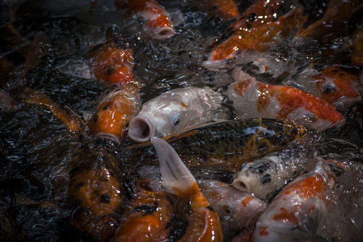 High angle view of koi fish in water